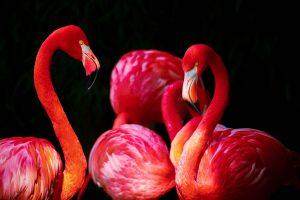 flamingo-676954